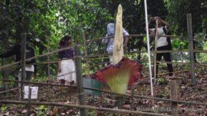 <!--:IN-->TEMPAT WISATA DI BOGOR : Bunga Bangkai di KEBUN RAYA Mekar<!--:-->
